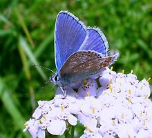 Blue Butterfly on White Flowers by Robbie Labanowski