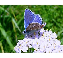 Blue Butterfly on White Flowers Photographic Print