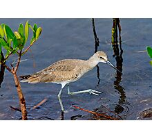 Willet Hunting on Sanibel Photographic Print