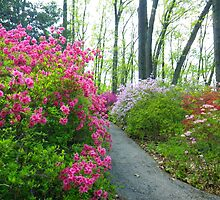 Azalea Walk by Betty Mackey
