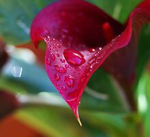 Red Calla by Sandra Parlow