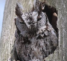An Eastern Screech-Owl  by DigitallyStill