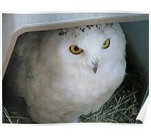 Snowy Owl in Shelter Poster