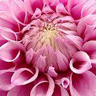 Pink Dahlia by gypsygirl