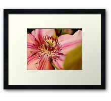 Pink clematis from the garden show Framed Print