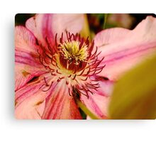 Pink clematis from the garden show Canvas Print
