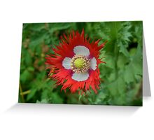 Fringed poppy Greeting Card