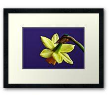 Daffodil flower Framed Print