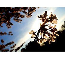 Cherry Blossoms  | Nature Photographic Print