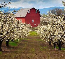 Red Barn Spring by DawsonImages