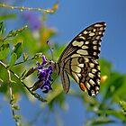 Butterfly ,Kalgoorlie. West Australia by robynart
