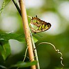 Malachite butterfly by Sajeev Chandrasekhara Pillai