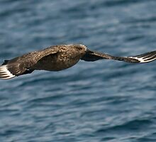 great skua Bonxie fly by by Grandalf