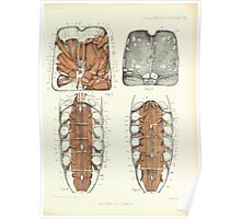 On the Muscular and Endoskeletal Systems of Limulus and Scorpio Sir Edwin Ray Lankester 1883 0062 Anatomy Scorpion Poster