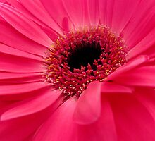Red Gerbera by Fe Messenger