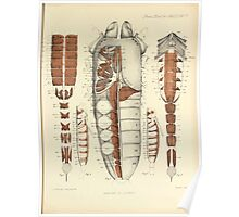 On the Muscular and Endoskeletal Systems of Limulus and Scorpio Sir Edwin Ray Lankester 1883 0060 Anatomy Scorpion Poster