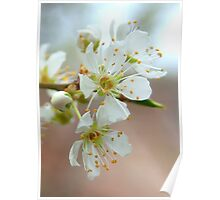 Plum Blossoms Close Up Poster