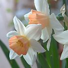 Delicate Daffodils  by Diana Graves Photography