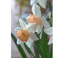 Delicate Daffodils  Photographic Print