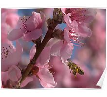 Peach Blossoms with a Honey Bee Poster