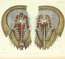 On the Muscular and Endoskeletal Systems of Limulus and Scorpio Sir Edwin Ray Lankester 1883 0030 Anatomy Horseshoe Crab by wetdryvac
