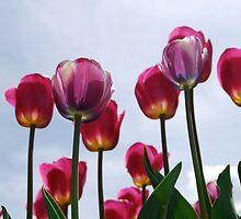 Tulips by Laura Kalcheff