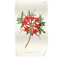 The Botanical magazine, or, Flower garden displayed by William Curtis V5 v6 1792 1793 0074 Azalea Nudiflora Coccinea, Scarlet Azalea Poster