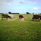 Happy Cows - with their hay by EdsMum