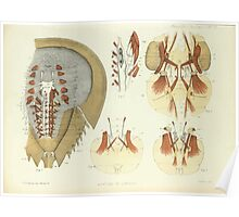 On the Muscular and Endoskeletal Systems of Limulus and Scorpio Sir Edwin Ray Lankester 1883 0032 Anatomy Horseshoe Crab Poster
