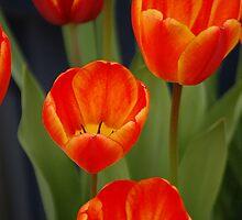 Tulips In Bloom by Jonice