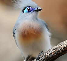 CRESTED COUA by mc27