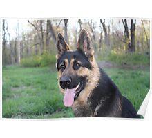 Jax - Male German Shepherd Dog Poster
