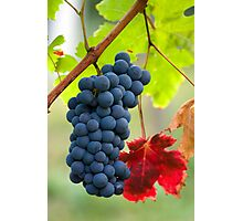 Cluster of grapes Photographic Print