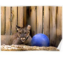 Panther With Blue Ball  Poster