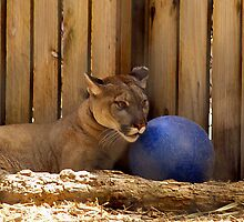 Florida Panther with Blue Ball by BCallahan