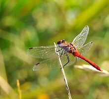 ruddy darter  by Grandalf