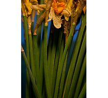 Wilted Daffodils Photographic Print