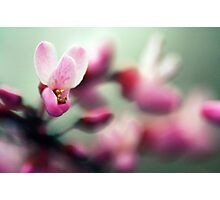Redbud in Bloom Photographic Print