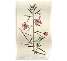 The Botanical magazine, or, Flower garden displayed by William Curtis V3 V4 1790 1791 0009 Epilobium Angustissimum, Narrowest Leaved Willow Herb Poster