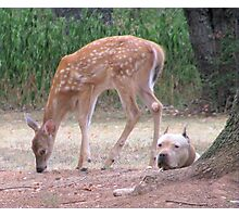 The Fawn And The Pit Bull Photographic Print