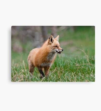 Fox Biscuits Canvas Print