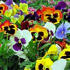 pansies - if these flowers had voices ... by carol selchert