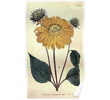 The Botanical magazine, or, Flower garden displayed by William Curtis V7 V8 1794 0023 Helianthus Multiflorus, Many Flowered or Perennial Sun Flower Poster