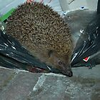hedgehog recycler going through the rubbish by Grandalf