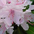 Pretty Pink And White Rhodendrum Flowers by JenaHall