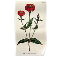 The Botanical magazine, or, Flower garden displayed by William Curtis V5 v6 1792 1793 0011 Zinnia Multiflora, Many Flowred Zinnia Poster