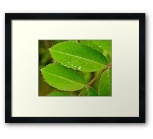 Dew on Mountain Ash Framed Print