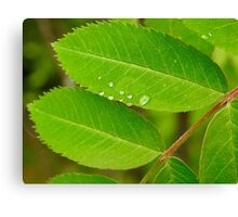 Dew on Mountain Ash Canvas Print