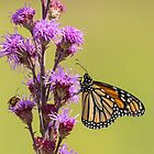 Monarch and Blazing Star 2014 by Thomas Young