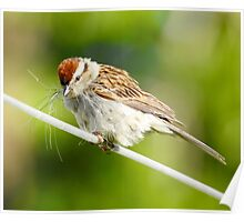 Chipping Sparrow Gathering Nesting Poster